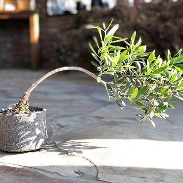 盆栽橄欖樹×芦澤和洋  Nevadillo blanco no.180620-10