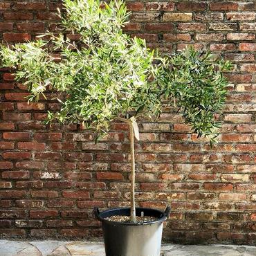 Maurino 13号鉢 no.180509-1 樹高130~150cm