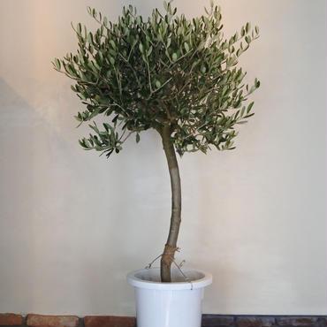 トピアリーLucca 8号鉢 no.180102-5