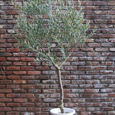 Cipressino 10号鉢 no.180110-6
