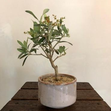 Olive×茶器  志野焼no.1