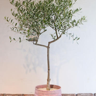 Nevadillo Blanco  × RHODOS  no.170613-4