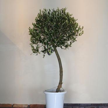 トピアリーLucca 8号鉢 no.180102-6