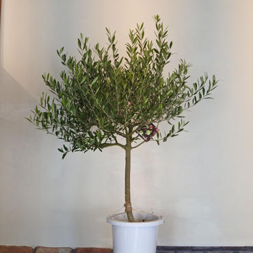 トピアリーNevadillo Blanco 8号鉢 no.180102-4