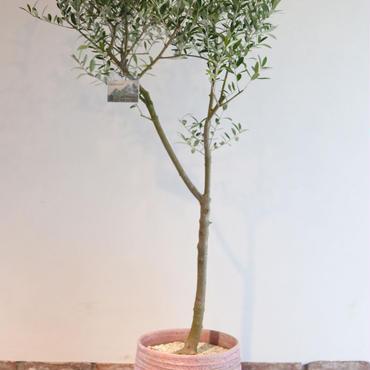 Nevadillo Blanco  × RHODOS  no.170613-2
