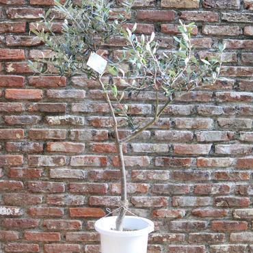 Lucca 8号鉢 no.170913-11