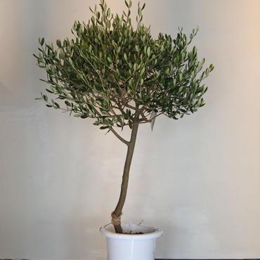 トピアリーLucca 8号鉢 no.180102-7