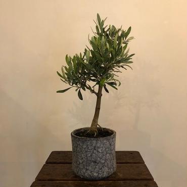 盆栽橄欖樹×芦澤和洋  Nevadillo blanco no.180620-2