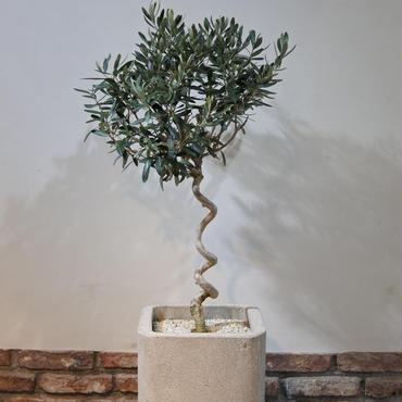 Import Olive×Concrete Pot no.170126-1