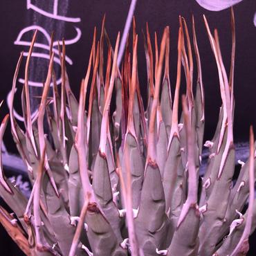 agave    utaensis  eborispina《L L size》