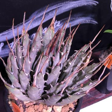 agave   utaensis eborispina《L size》
