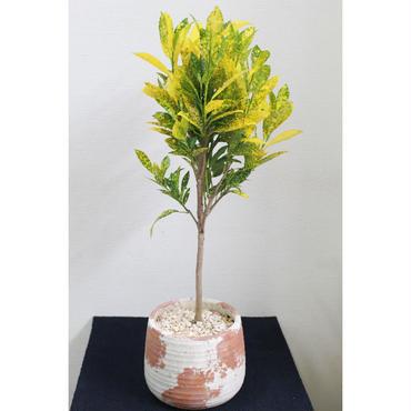 観葉植物 クロトン 鉢付き