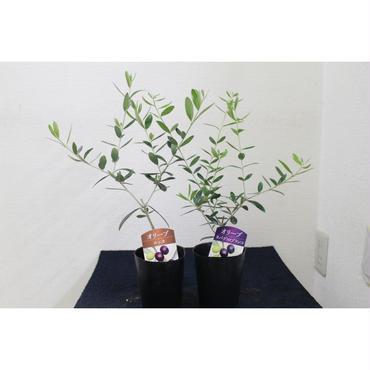 オリーブの木 2品種セット