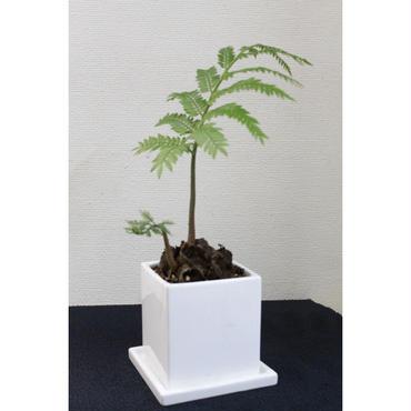 シダ植物 リュウビンタイ 2
