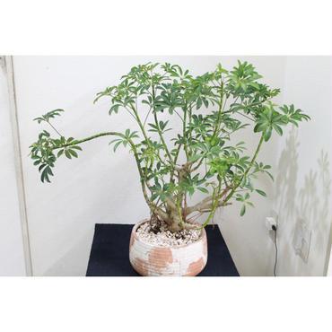 観葉植物 シェフレラ・コンパクタ 鉢付き