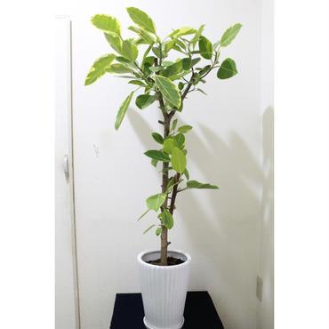観葉植物 フィカス・アルテシーマ 8号鉢+受皿付き