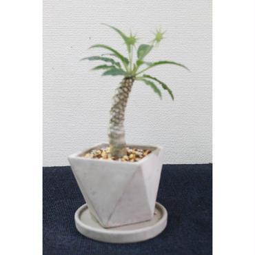 塊根植物 ドルステニア・フォエチダ 鉢+受皿付き