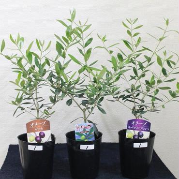 オリーブの木 3品種セット 1