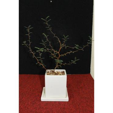 観葉植物 ミクロフィラソフォラ 1