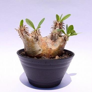 Pachypodium eburneum パキポディウム エブレネウム