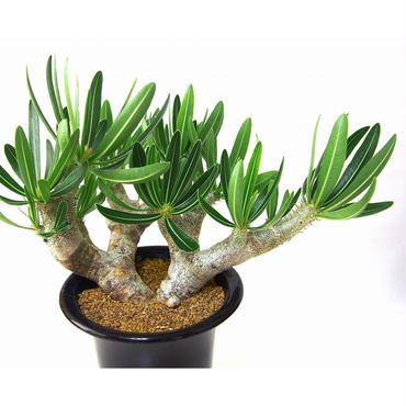 パキポディウム イノピナツム Pachypodium inopinatum