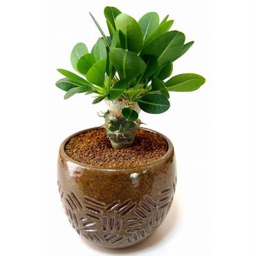 Pachypodium brevicaule albiflorum  恵比寿笑い