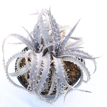 Dyckia  Bone x ML GB