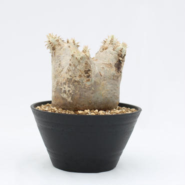 パキポディウム エブレネウム 花芽付き