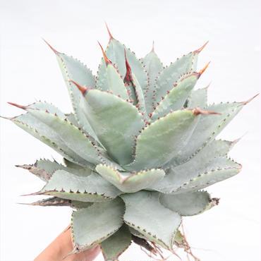Agave pygmaea  Dragon Toes