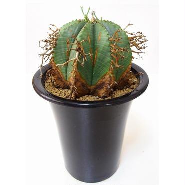 Euphorbia valida ユーフォルビア・バリダ
