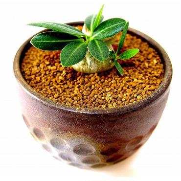 パキポディウム エブレネウム Pachypodium eburneum  №1(白花)
