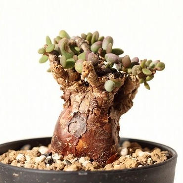 ケラリア ピグマエア Ceraria pygmaea  no.3