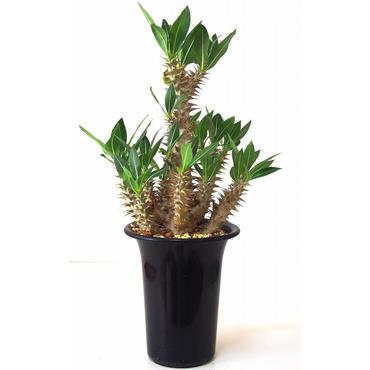 Pachypodium rosulatum   パキポディウム ロスラーツム№3