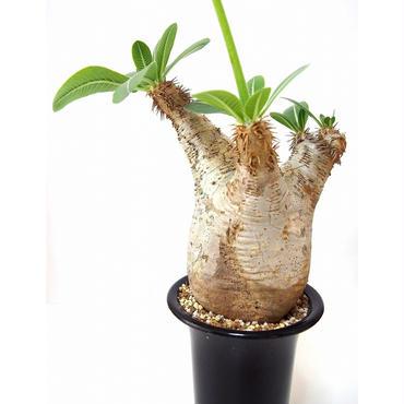 パキポディウム エブレネウム Pachypodium eburneum  №1