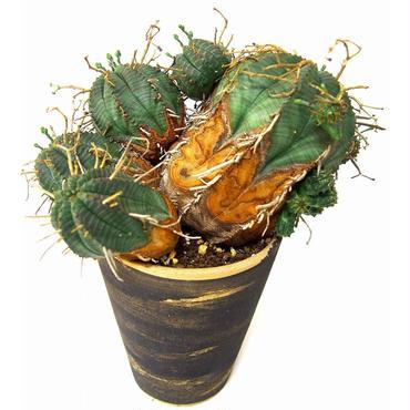 ユーフォルビア バリダ 群生 Euphorbia valida