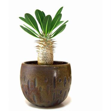 Pachypodium densiflorum シバ女王の玉櫛  №2