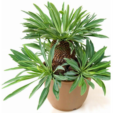 Euphorbia bupleurifolia 鉄甲丸