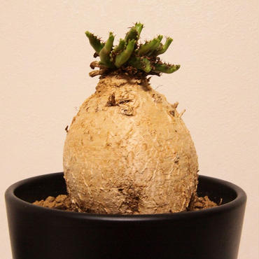 ユーフォルビア ステラータ Euphorbia stellata