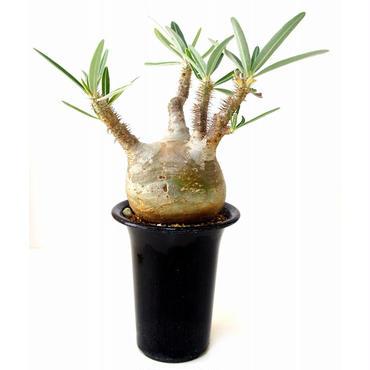 パキポディウム  グラキリス Pachypodium Gracilius №5