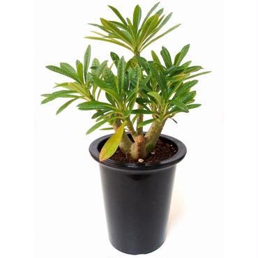 Dorstenia gigas ドルステニア ギガス