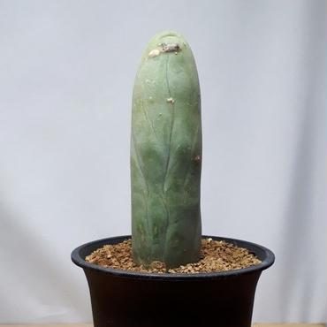 トリコケレウス属 珍宝閣 Trichocereus macrogonus f. monst (M00729)
