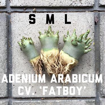 "Mサイズ アデニウム・アラビクム ""ファットボーイ"" Adenium arabicum cv. 'fatboy'"
