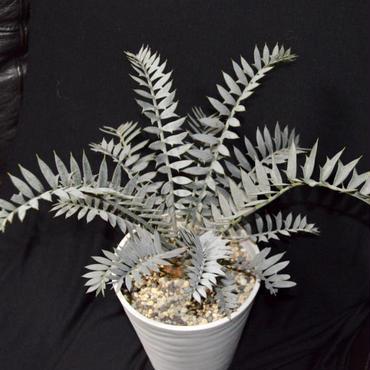 極美 Encephalartos horridus  エンセファラルトス  ホリダス