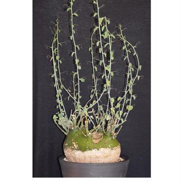 【激レア】 超特大株 Adenia spinosa アデニア スピノーサ