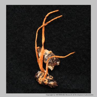 津和野式冬虫夏草:乾燥原体(5グラム)