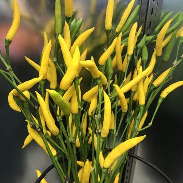 トウガラシ 1本売り 黄色
