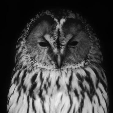 Owl(フクロウ)