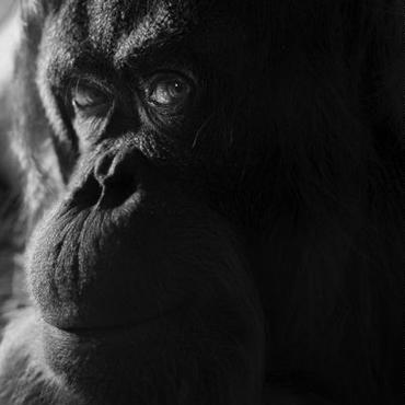 Orangutans(オラウータン)