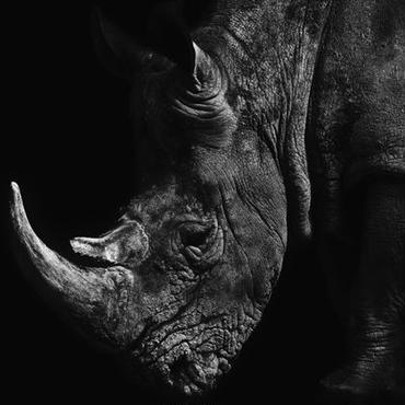 Rhinoceros(サイ)
