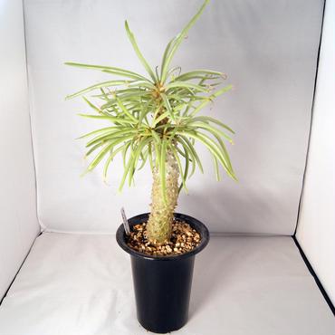塊根植物 チレコドン・カカリオイデス(Tylecodon cacalioides)  鐘鬼【送料無料】